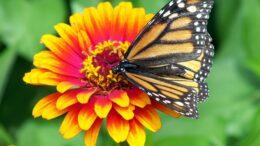 Cómo es la conservación de la mariposa monarca