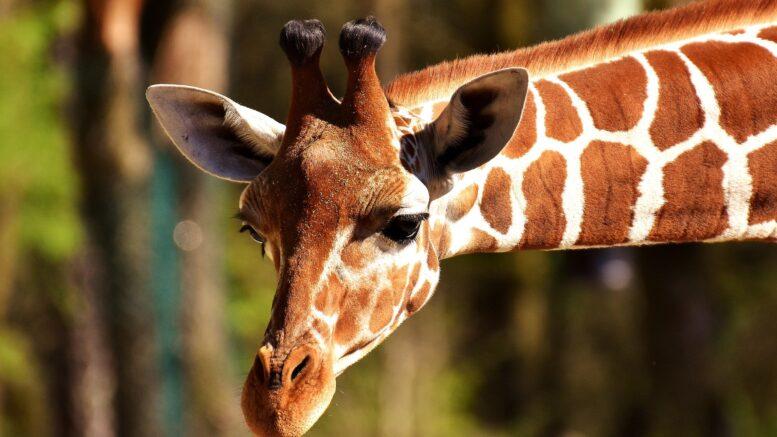 Cómo ha sido la evolución de las jirafas