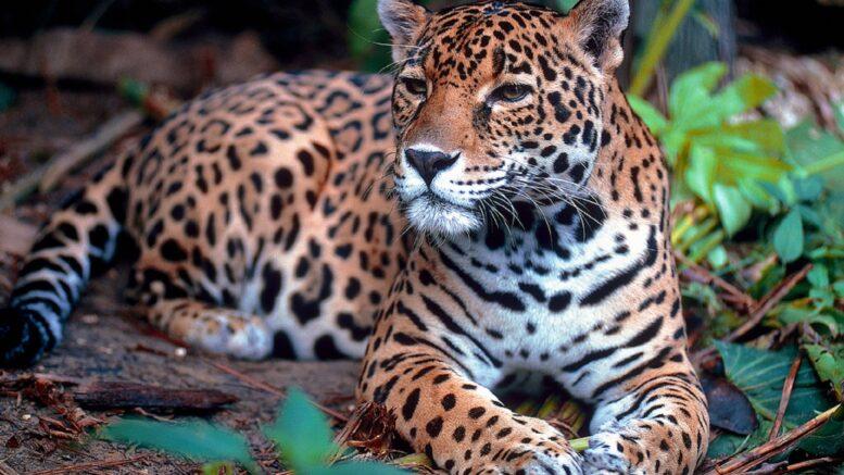 Cuáles son las causas de la extinción del jaguar