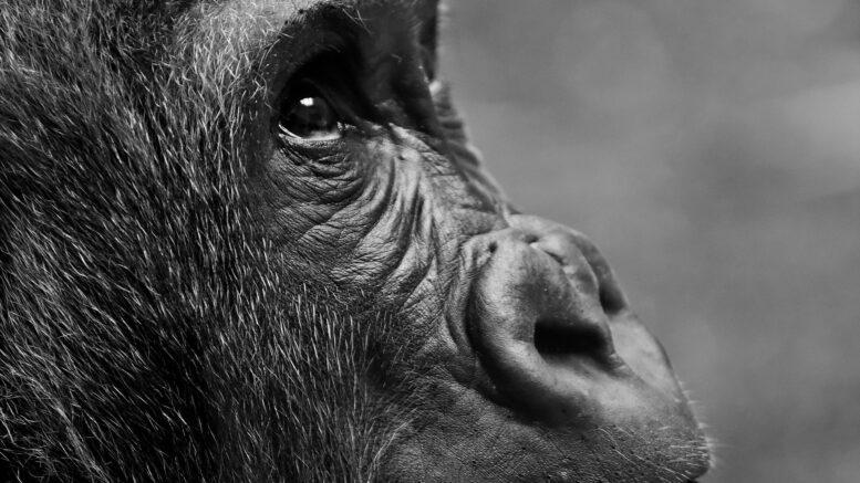 Cuánto mide el gorila más grande del mundo