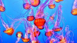 Cuántos años vive la medusa inmortal