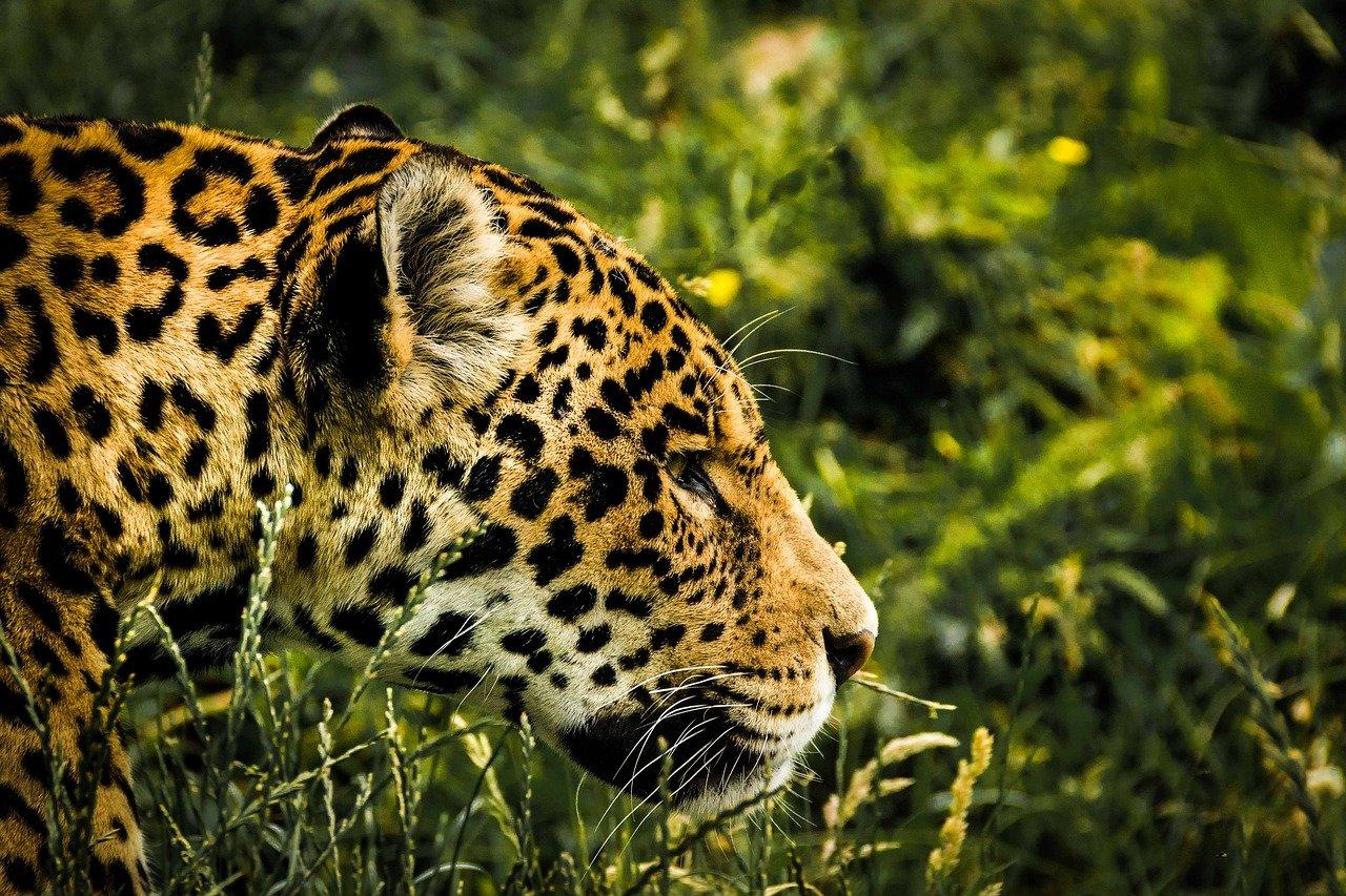 Extinción del jaguar