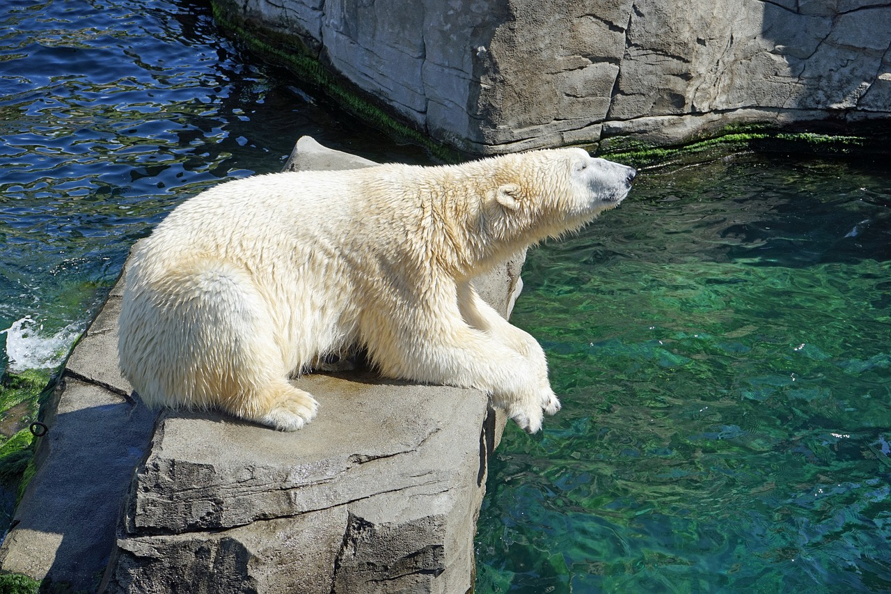 Oso polar se está extinguiendo