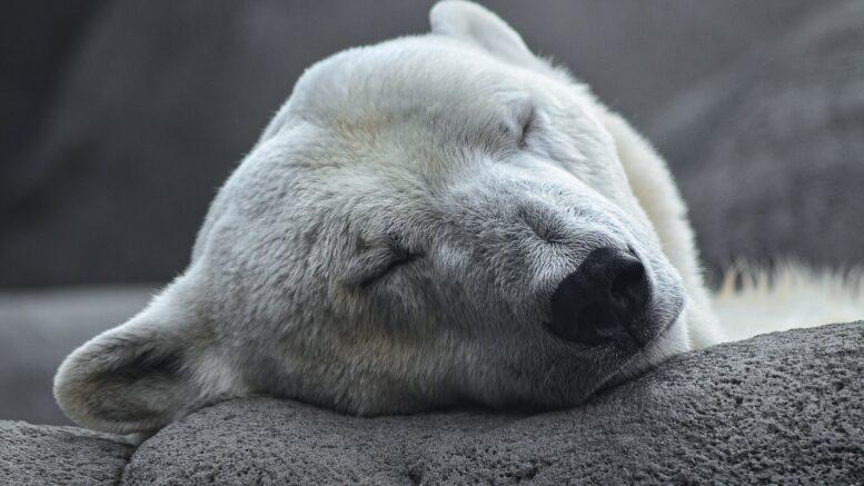 Qué tan fuerte es un oso polar