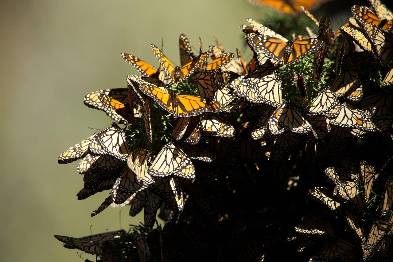 Significado de la mariposa monarca