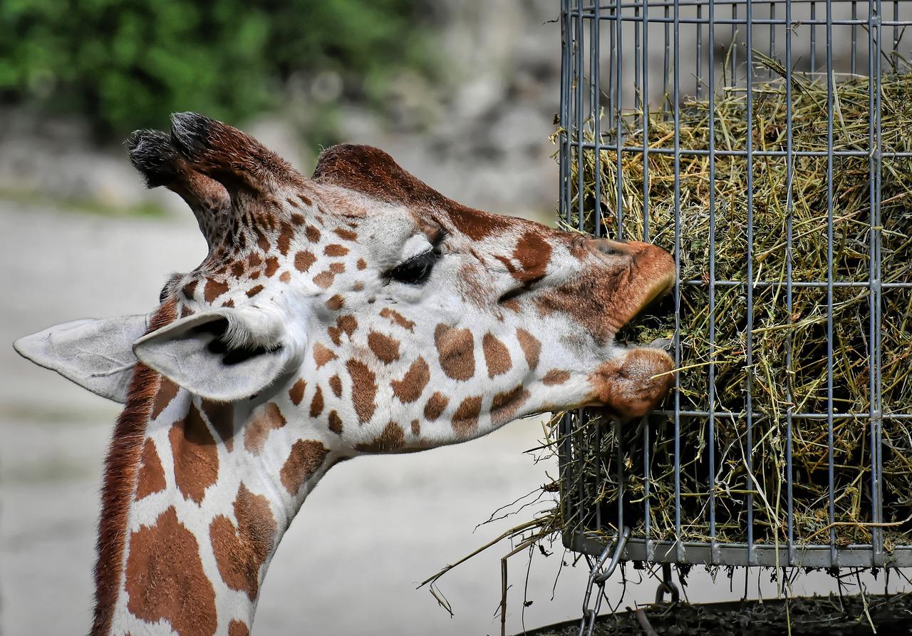 Jirafa en Zoo